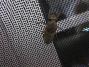 網戸に登るツクツクホウシの幼虫