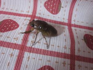 セミの幼虫がカーテンに登る