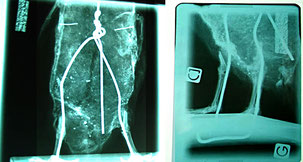 Grand Pingouin, radiographies (détails) / Cabinet Vétérinaire Faict Buissart Cornille Abbeville