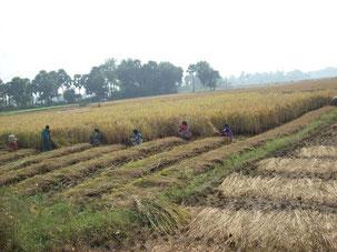 子供も農作業に従事