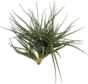 Tillandsia tenuifolia