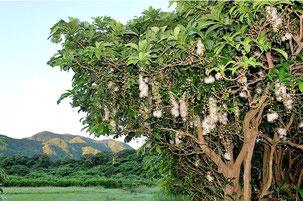 花と緑の名所100選に選ばれた「平久保のサガリバナ群落」(大塚勝久さん撮影)