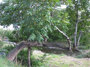 真横に伸びたオニグルミの木 盛岡市浅岸