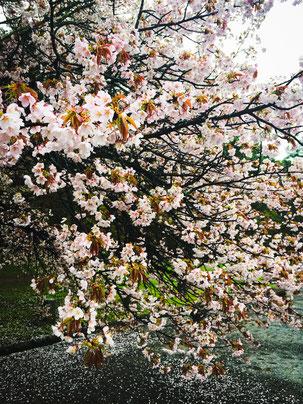 京都御所で花見