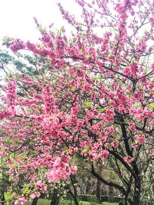 京都御苑で花見