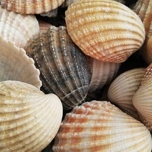 Atlantikmuscheln Muscheln natur zum leihen