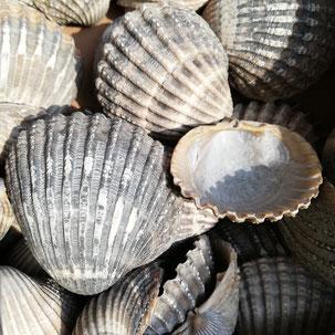 Atlantikmuscheln Muscheln zum leihen grau
