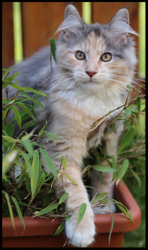 Jungtier Maine Coon Katze Mädchen