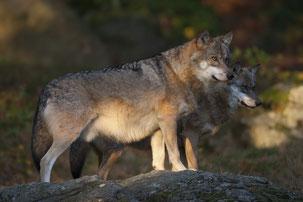 Wölfe (Bild: Marcus Bosch, LBV-Archiv)