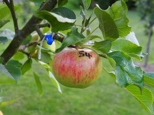 cross number labelled on developing apple
