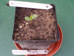 Apple seedling