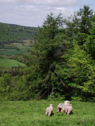 Sheep, St Briavels, Forest of Dean, England, Wales border.