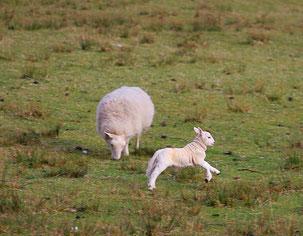 grasendes Mutterschaf mit fröhlich hüpfendem Lamm