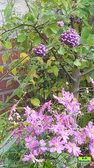 pinkfarbene Herbstanemonen unter einem lila blühenden Patagonischen Eisenkraut von K.D. Michaelis