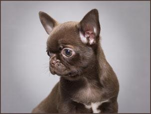Гладкошерстный щенок чихуахуа