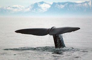 Walvis bij Andenes