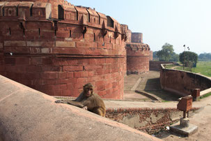 Monkey at Red Fort in Agra