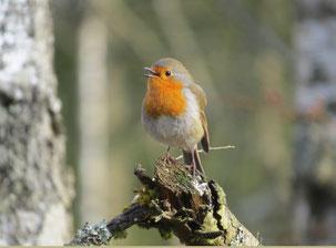 NABU-Vogelstimmenführung im Banngebiet Staudacher am Federsee