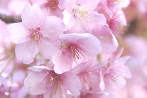 桜花エキス