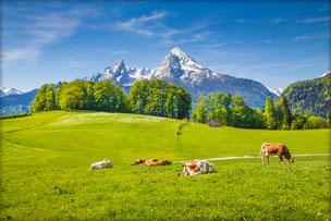 Molke-Pro Weidekühe und Berge