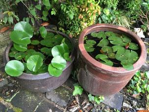 スイレン鉢は水をはっていないといけないので、蚊の格好の産卵場所になる可能性が!!