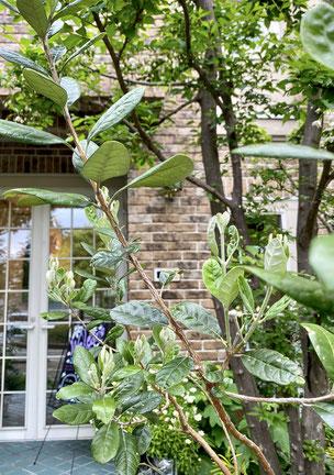 おすすめの植木 常緑樹