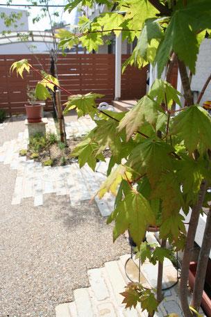 お庭に植えたコハウチワカエデ。可愛い葉っぱだ。