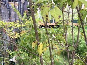 ソヨゴの下枝の部分に付いている印象だ。