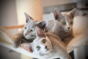 Woldlake`s Fyn for Wepercats & Naima & Ophelia von der Weper