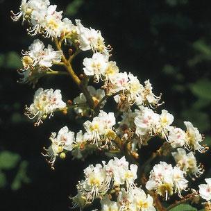 witte paardenkastanje, aesculus hippocastanum