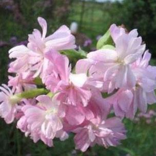 zeepkruid, saponaria officinalis