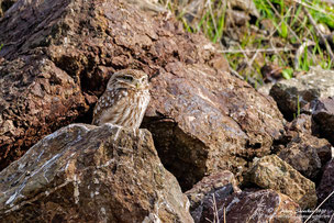Little Owl near Breeding cave, Januar 2020, Anarita Areal, Zypern