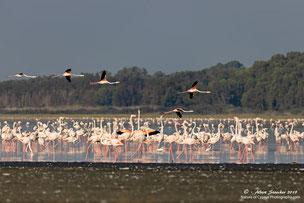 Rosa Flamingos sammeln sich zur Überwinterung im Akrotiri Salzsee, Limassol, Zypern, Zypern