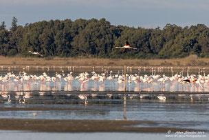 Rosa Flamingos während der Überwinterung im Akrotiri Salzsee, Limassol, Zypern, Zypern