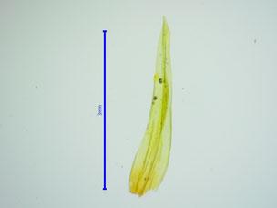 Blatt der Moospflanze