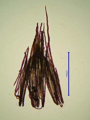Ulota coarctata Kalyptra gefärbt