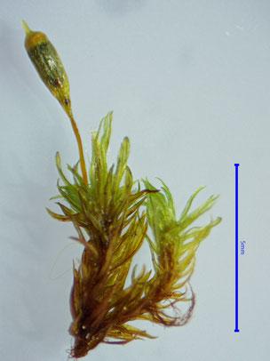 Ulota coarctata feuchte Pflanze