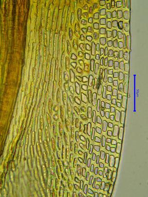 Wasserheller Blattsaum