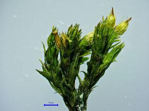 Othotrichum affine trocken
