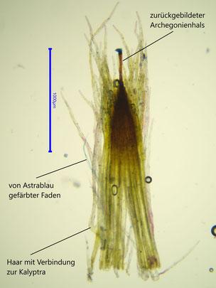 Kalyptra mit FCA gefärbt
