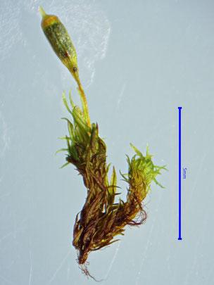 Ulota coarctata trockene Pflanze