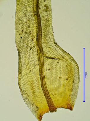 Blattbasis