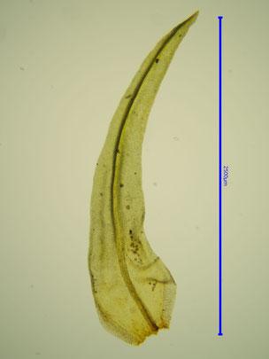 Blatt der Pflanze