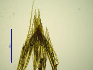 Ulota coarctata Kalyptra ungefärbt