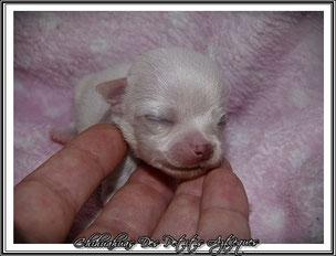 Elevage chihuahua miniature