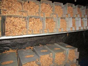 この箱の中でさらに水分を抜き、カビの発生を抑制します。葉たばこの味と香りを決める重要な工程の乾燥作業(熟成期間)