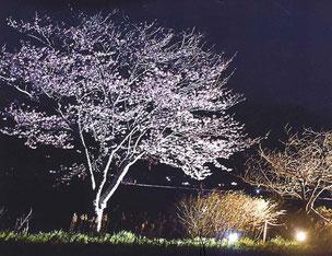 泉沢自治会 一関 川﨑 地域行事 ライトアップ 桜 idea いちのせき元気な地域おこし事業