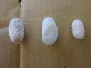 養蚕 繭 規格外品