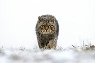 Chat sauvage, photographie de Joël Brunet