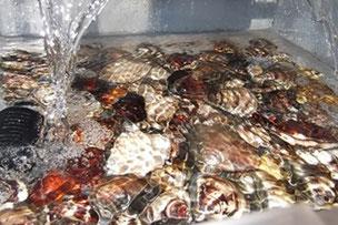 魚介類の活魚水槽・生簀。水換え不要。
